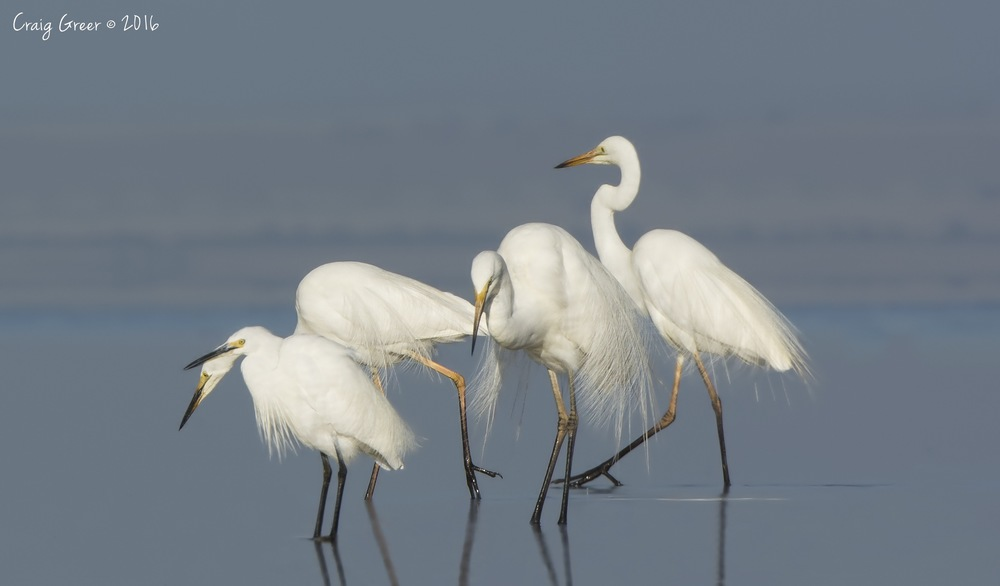 Egrets | Bald Hill Beach