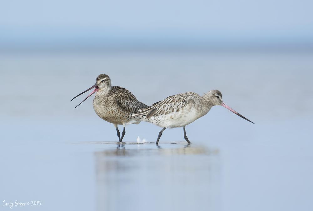 Bar-tailed Godwits | Port Clinton