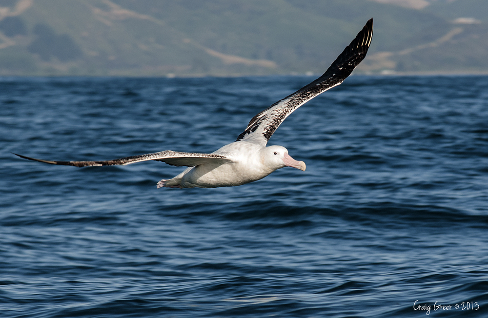 Gibson's Wandering Albatross | Kaikoura, NZ