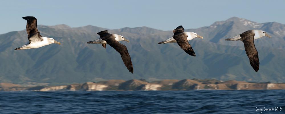 White-capped Albatross | Kaikoura, NZ