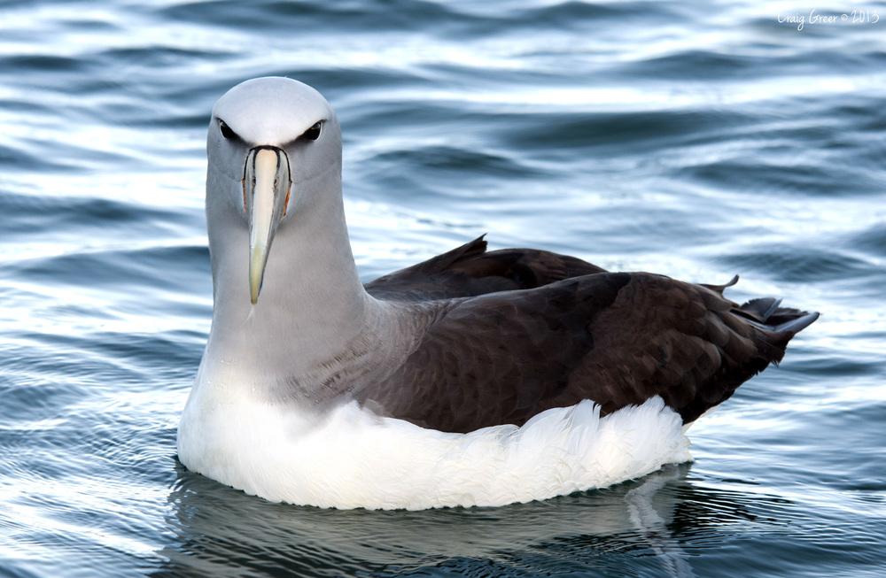 Salvin's Albatross | Kaikoura, NZ