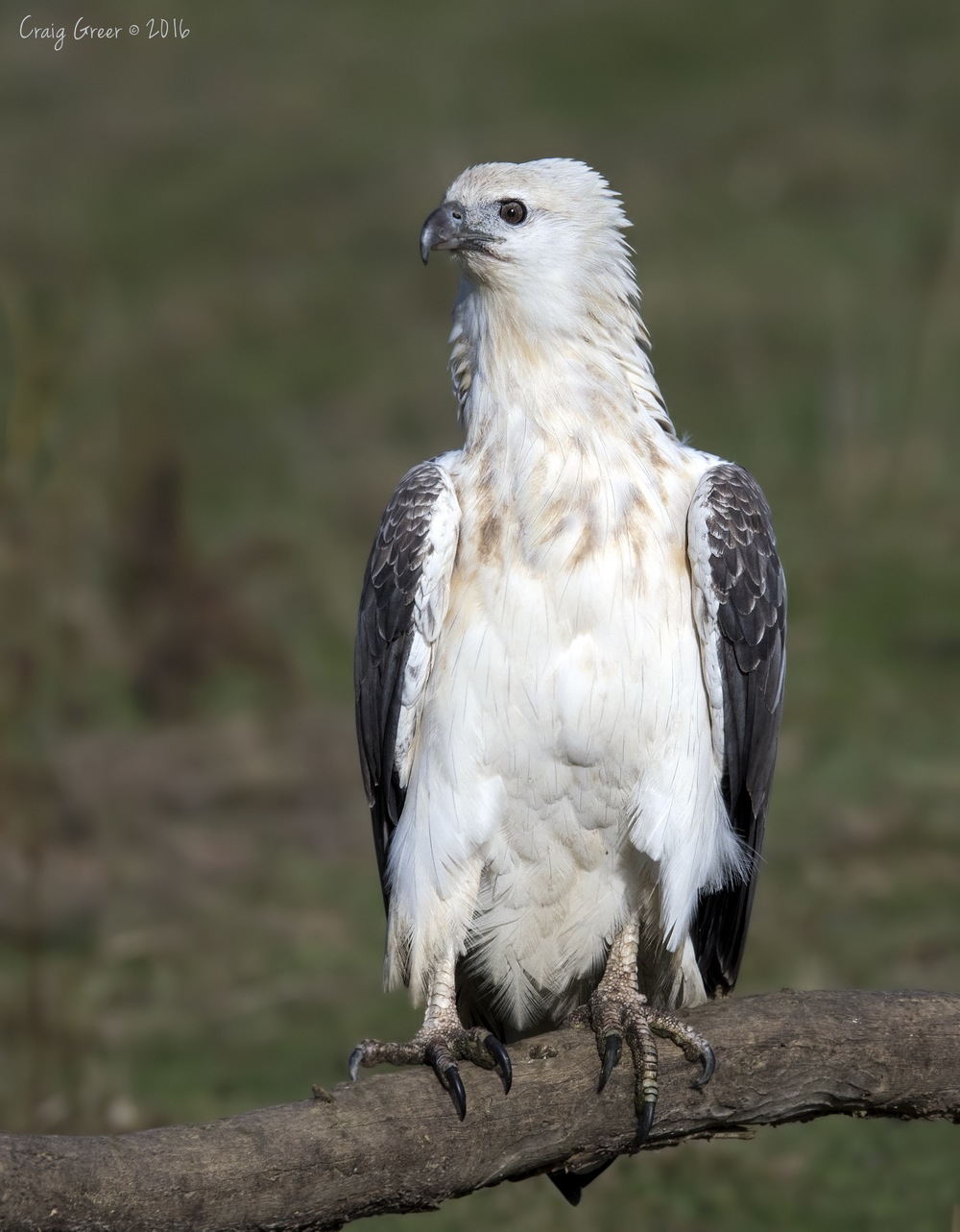 White-bellied Sea-eagle | Inala, Bruny Island