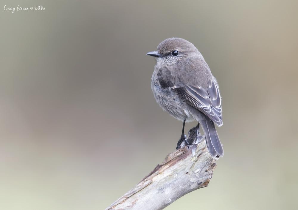 Dusky Robin | Inala, Bruny Island