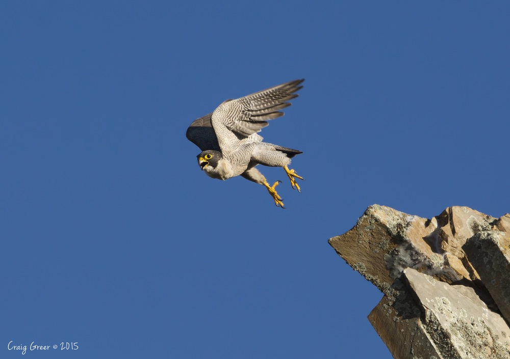 Peregrine-Falcon-Barossa-Valley-15-11-15 copy.jpg