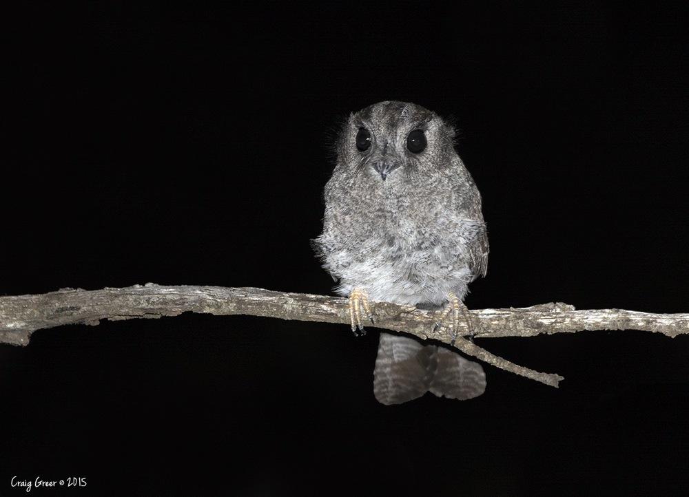 Australian Owlet-nightjar | Owen