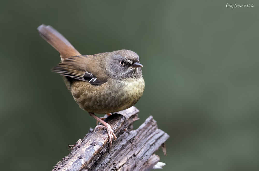 Tasmanian Scrubwren   Underwood, Tas