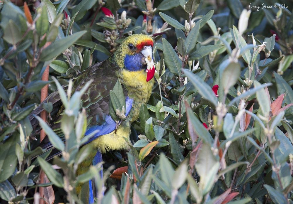 Green Rosella   Kate Reid Reserve, Tas