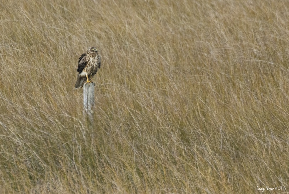 Swamp-Harrier-Bool-Lagoon-05-07-15.jpg
