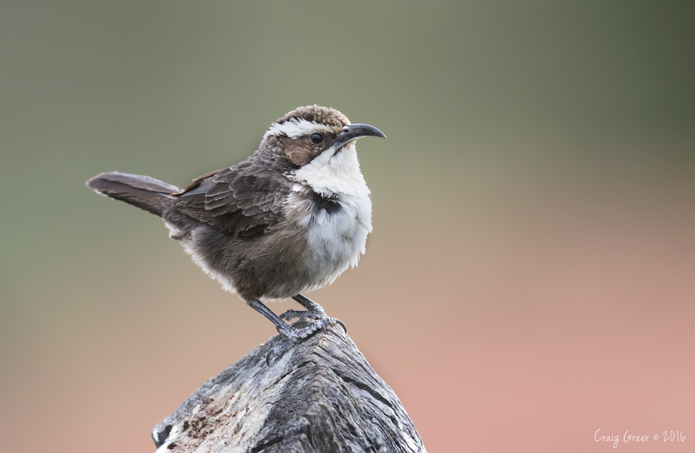 White-browed-Babbler-Arid-Lands-31-07-16.jpg