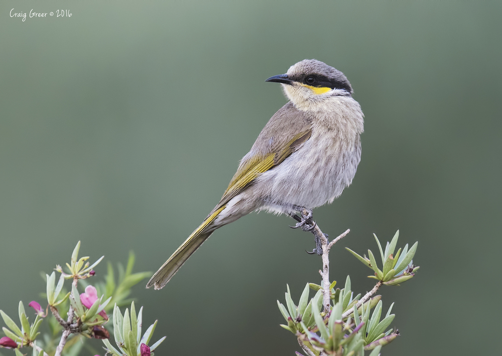 Singing-Honeyeater-2-Arid-Lands-31-07-16.jpg