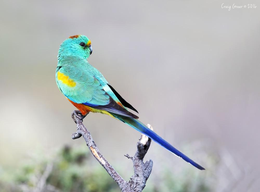 Mulga Parrot   Arid Lands Botanic Gardens