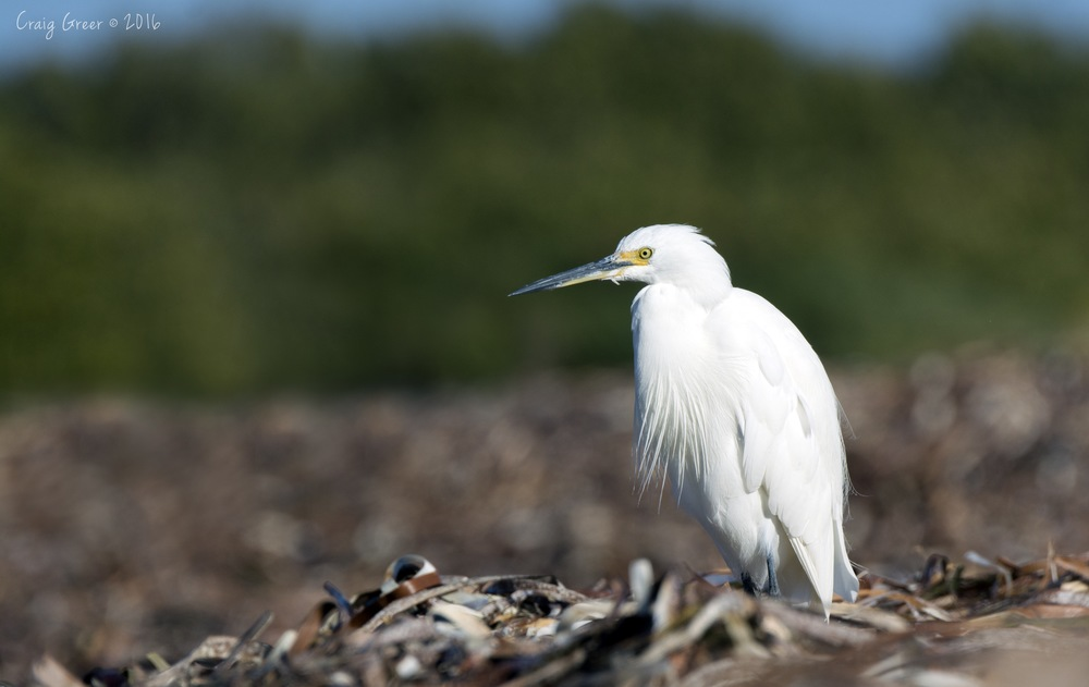 Little-Egret-Bald-Hill-2-27-02-16.jpg