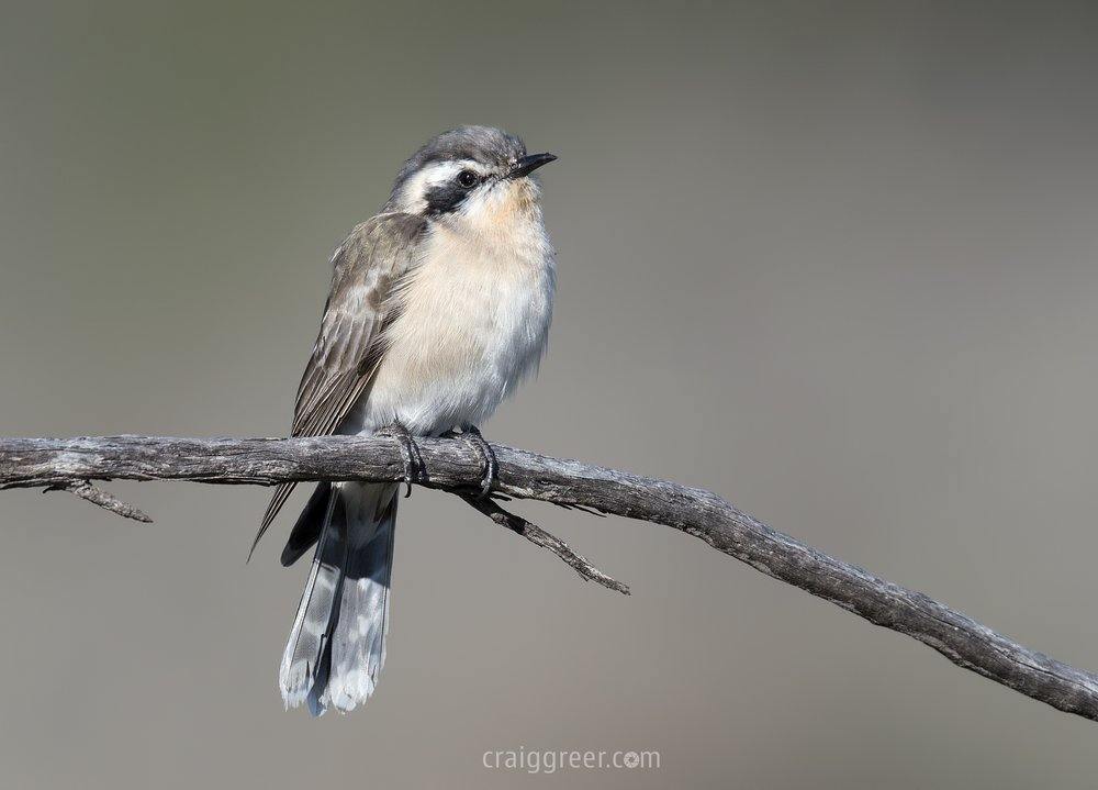 Black-eared-Cuckoo-Brookfield-CP-25-08-16.jpg