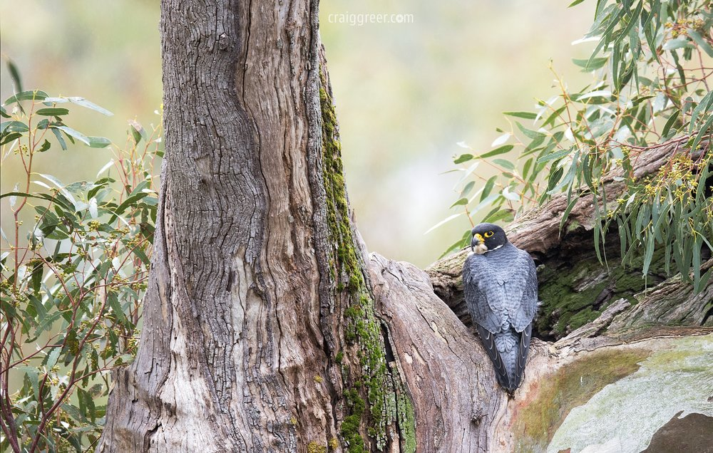 Peregrine Falcon | Barossa Valley