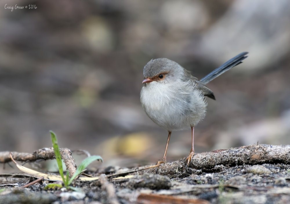 Superb Fairy-wren | Morialta CP