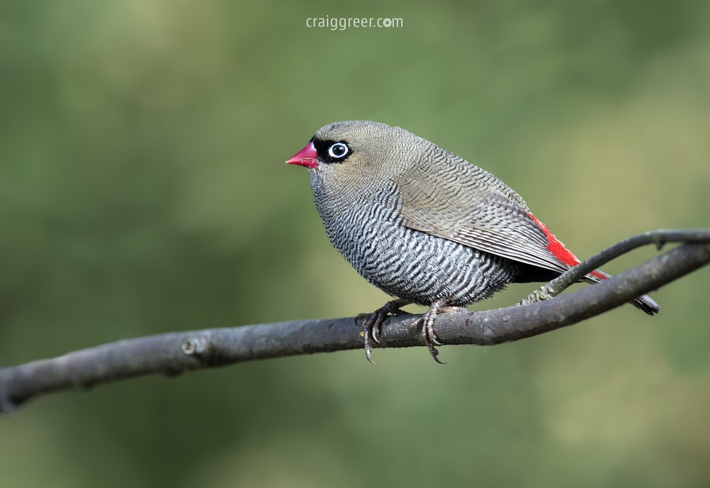 Beautiful Firetail | Inala, Bruny Island
