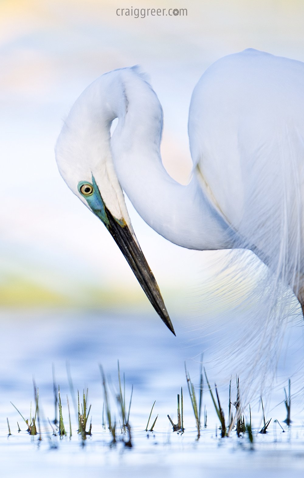 Eastern Great Egret | Herdsman Lake, WA