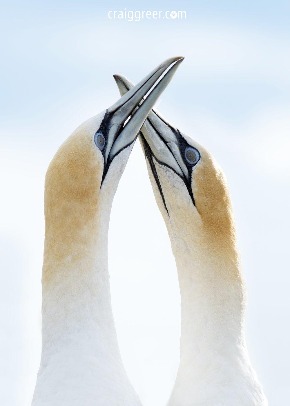 Australasian Gannet | Point Danger