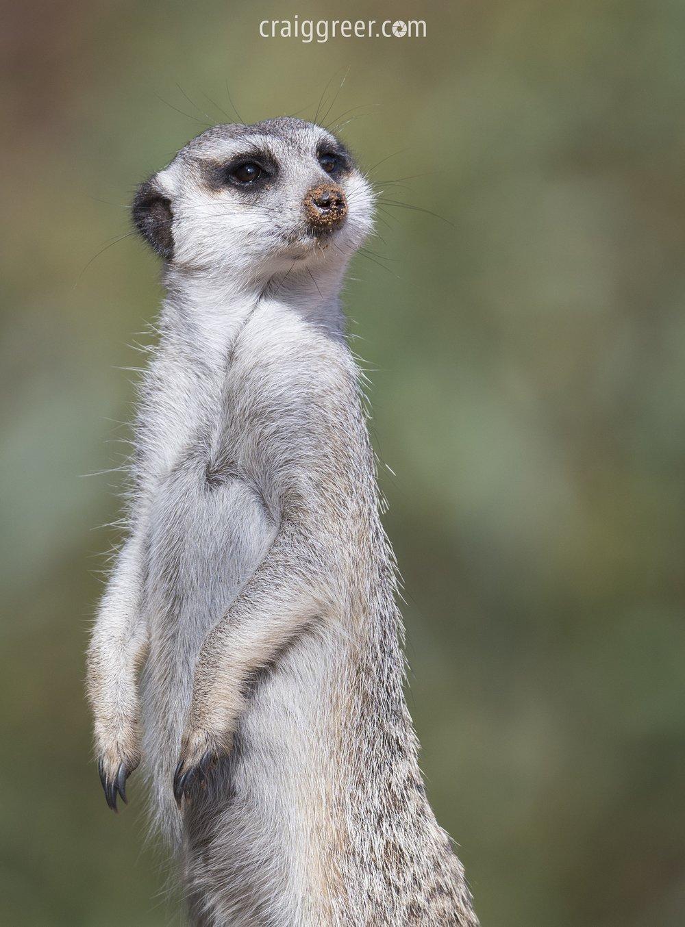 Meerkat | Monarto Zoo