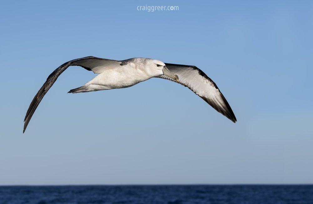 Shy-Albatross-Port-Mac-pelagic-4-19-03-17.jpg