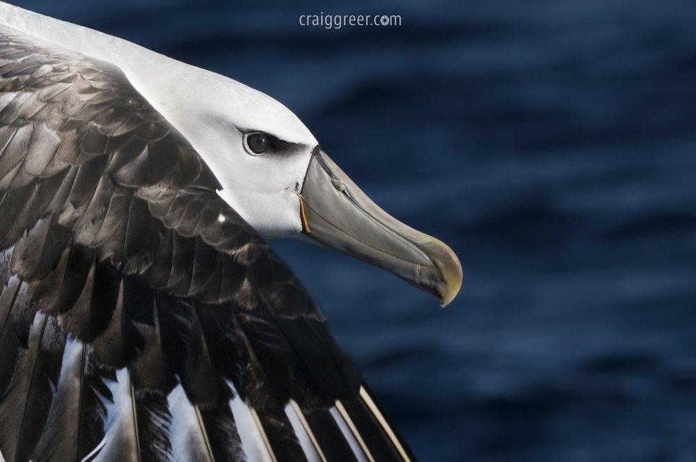 Shy Albatross | Port MAcDonnell pelagic
