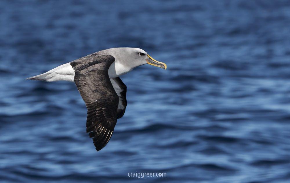 Buller's Albatross | Port MacDonnell pelagic
