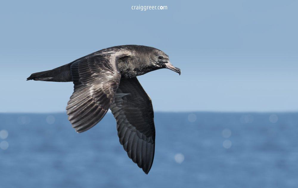 Flesh-footed-Shearwater-Port-Mac-pelagic-19-03-17.jpg