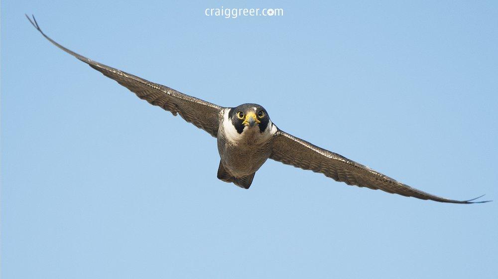 Peregrine-Falcon-Barossa-Valley-2-22-10-16.jpg