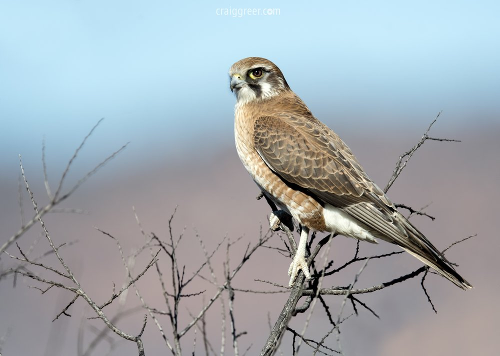Brown Falcon | Flinders Ranges Way