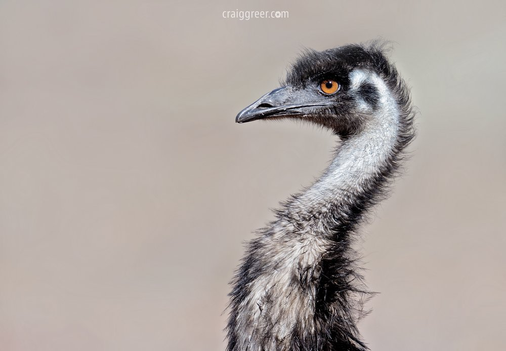 Emu-Wilpena-Pound-20-06-17.jpg