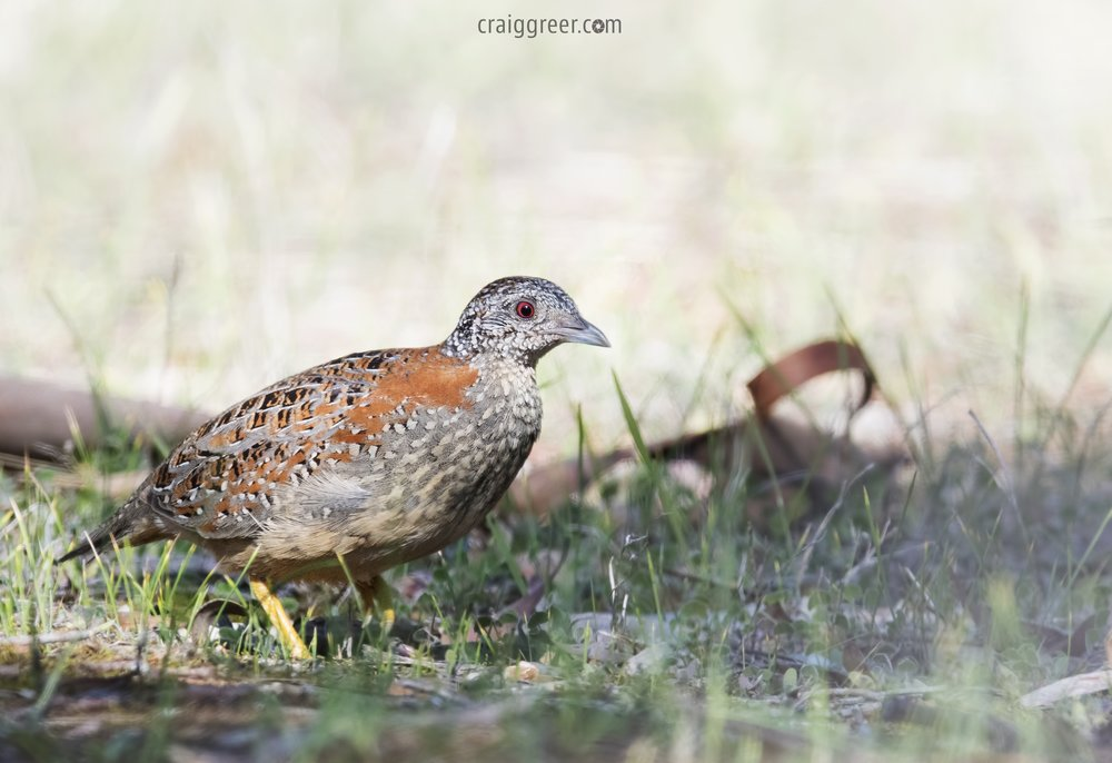 Painted-Button-quail-04-06-17.jpg