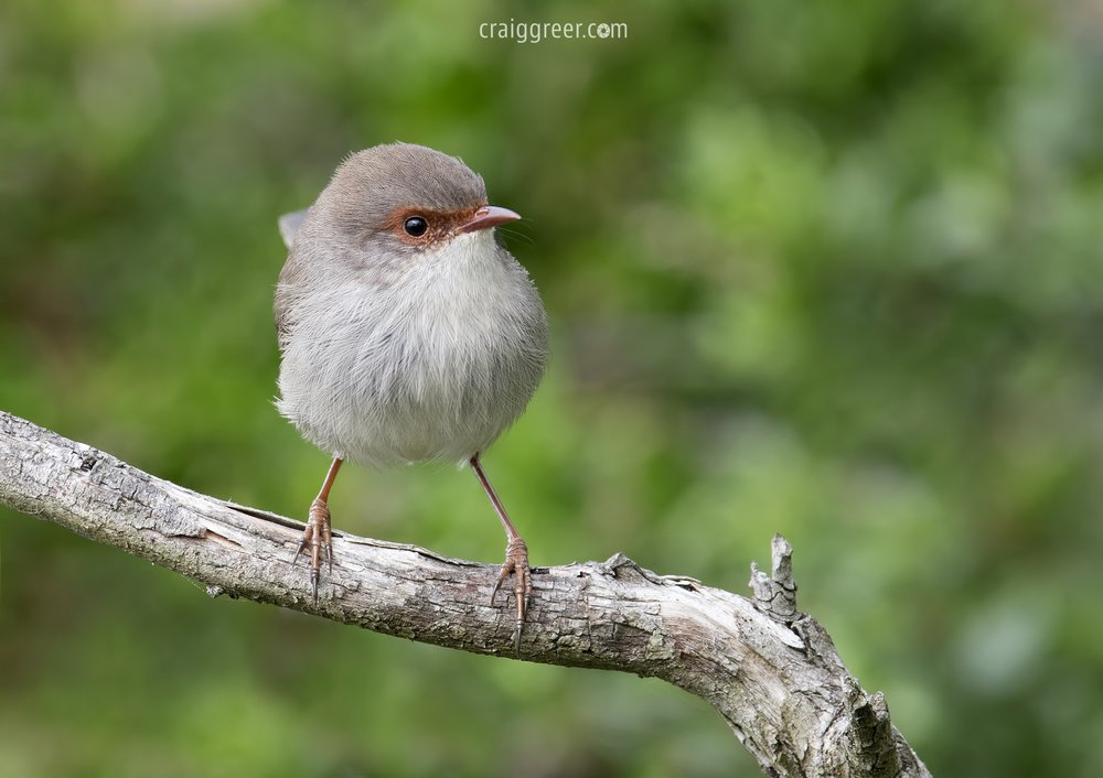 Superb Fairy-wren | Adventure Bay, Bruny Island