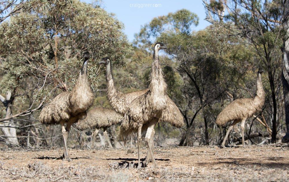 Emus-Arkaroola-Rd-Flinders-Ranges-20-06-17.jpg