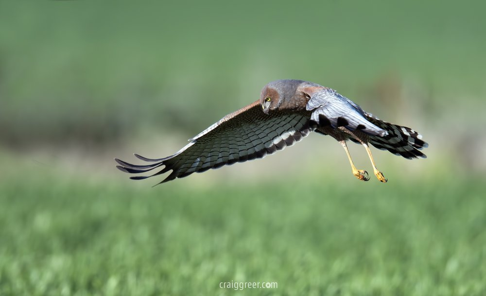 Spotted Harrier | Owen