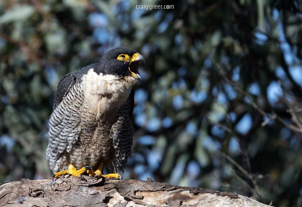 Peregrine-Falcon-Tanunda-01-08-17.jpg