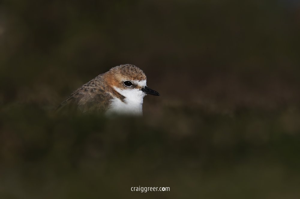 Red-capped Plover | Port Clinton