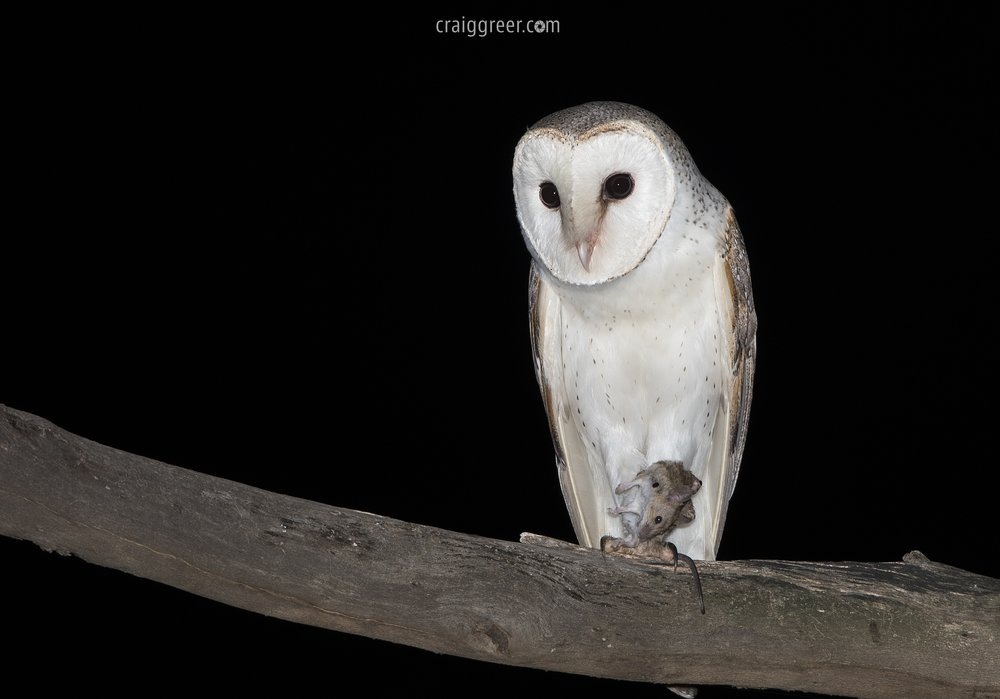 Eastern-Barn-Owl-with-prey-Owen-10-02-17.jpg