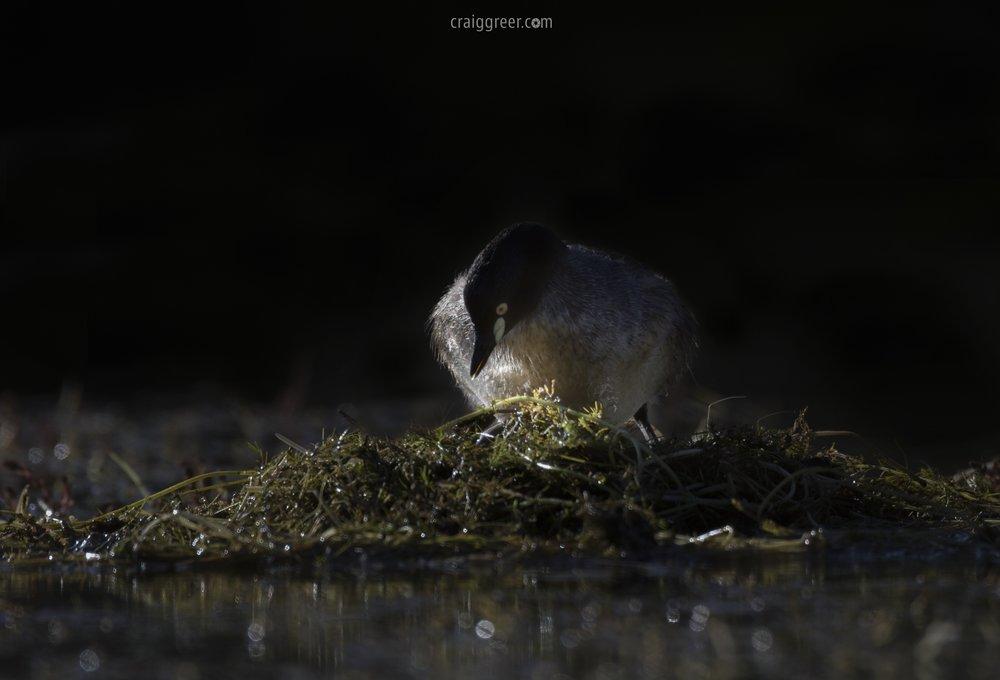 Australasian Grebe | Oaklands Reserve