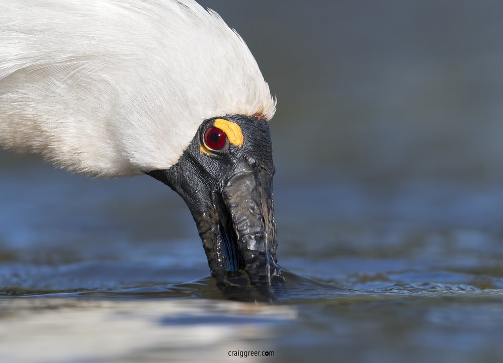 Royal Spoonbill | Oaklands Wetland Reserve