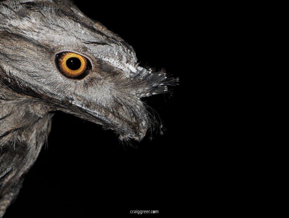 Tawny Frogmouth | Freeling