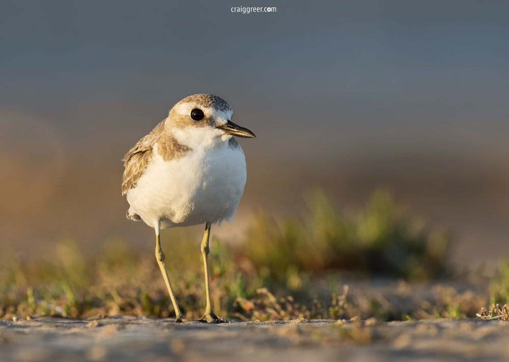 Greater Sand Plover | Port Clinton