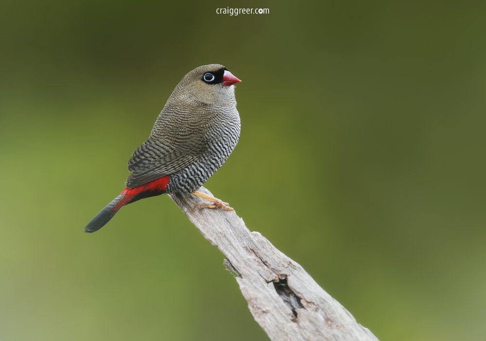 Beautiful Firetail | Coorong NP