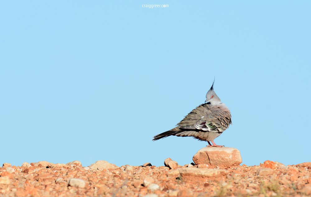 Crested Pigeon | Alice Springs