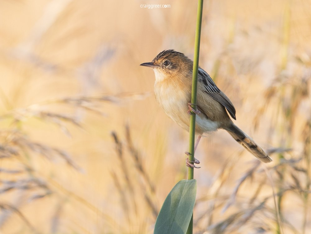 Golden-headed Cisticola | Tolderol Game Reserve