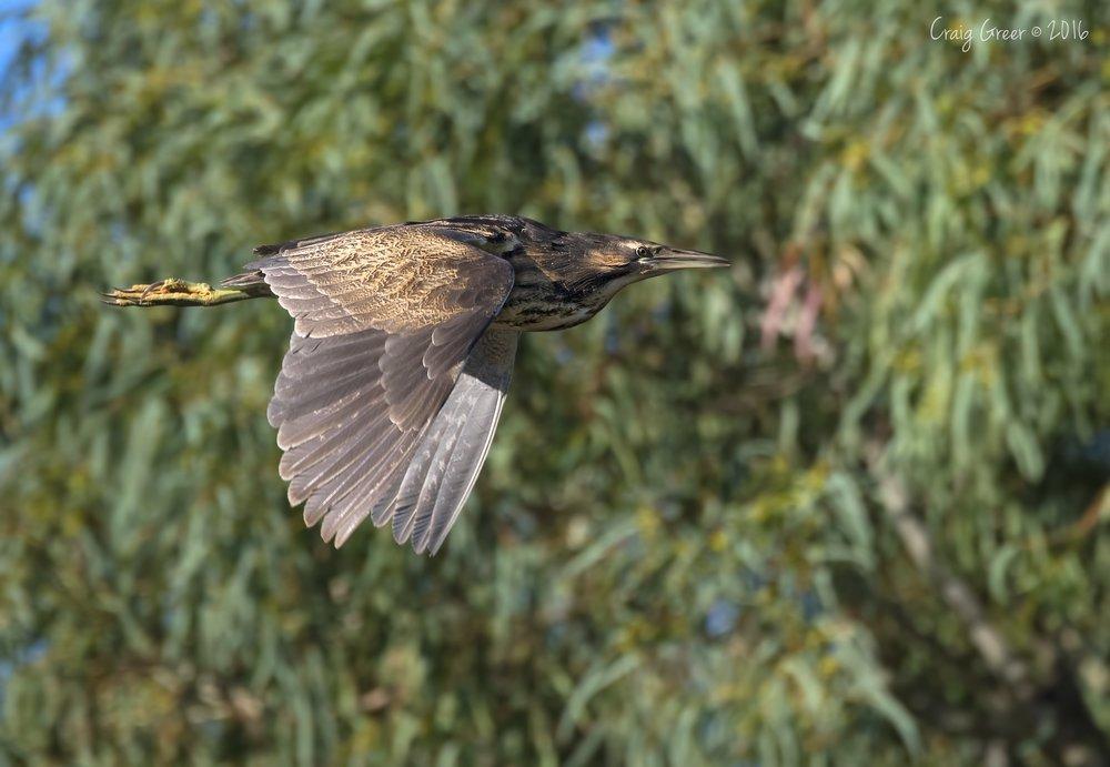 Australasian-Bittern-2-Oaklands-Wetlands-24-05-16.jpg