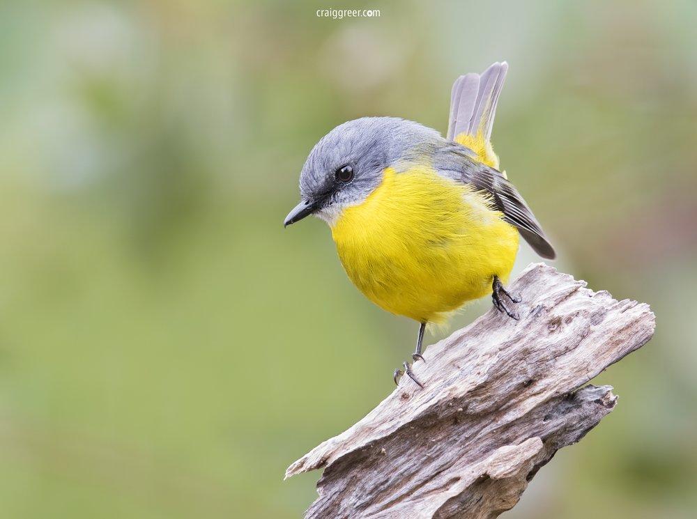 Eastern-Yellow-Robin-2-PMRC-20-05-18.jpg