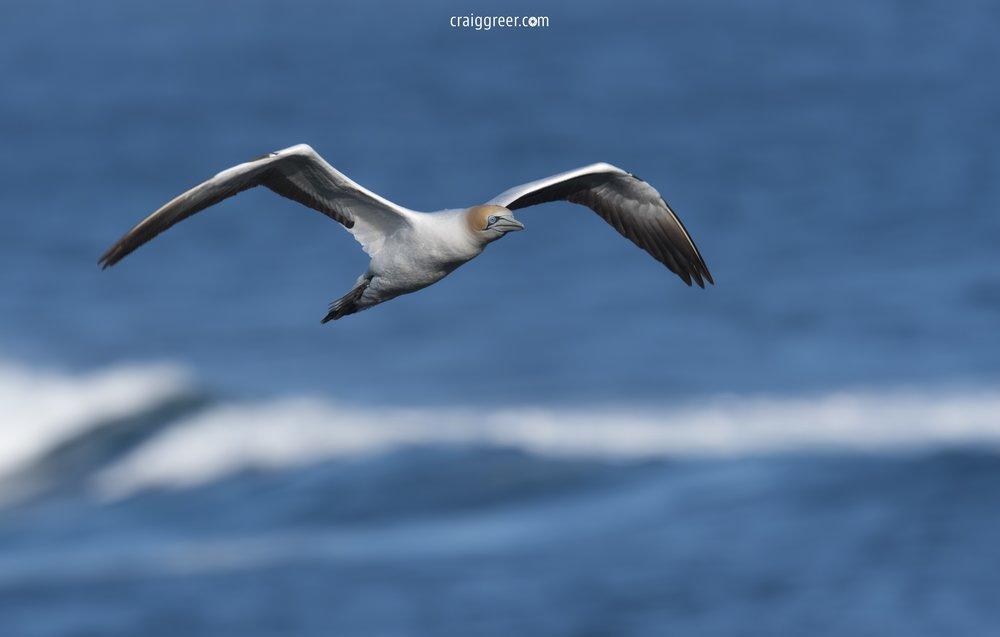 Australasian-Gannet-flight-Point-Danger-01-10-18-.jpg