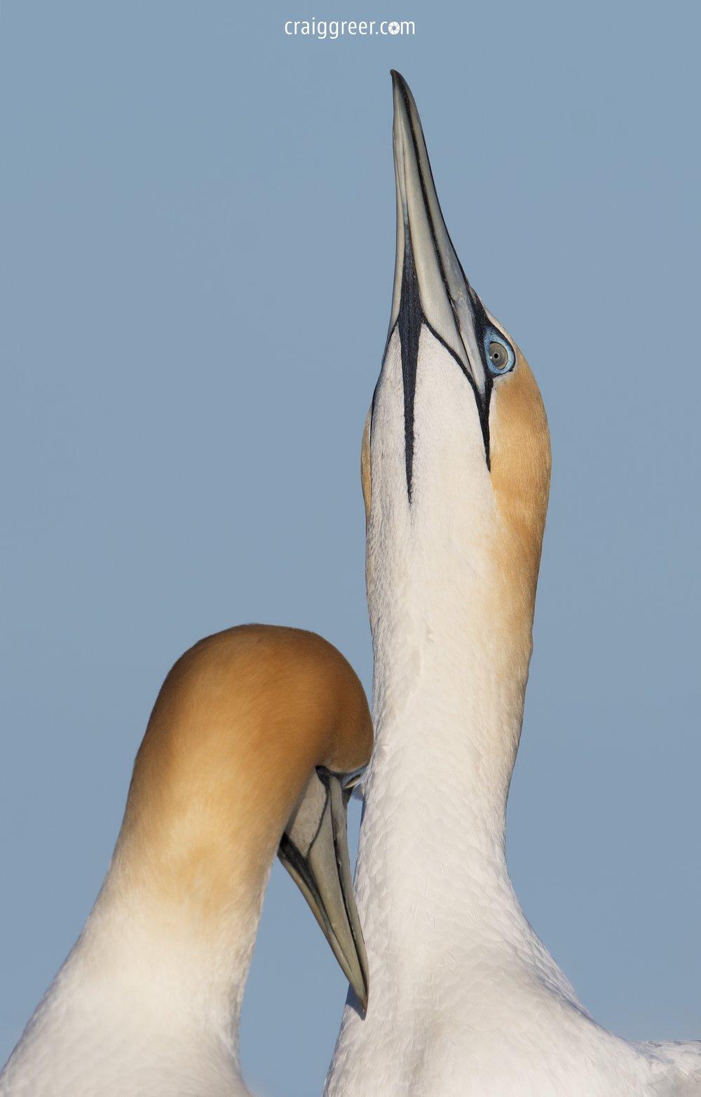 Australasian-Gannets-scratch-Portland-01-10-18.jpg