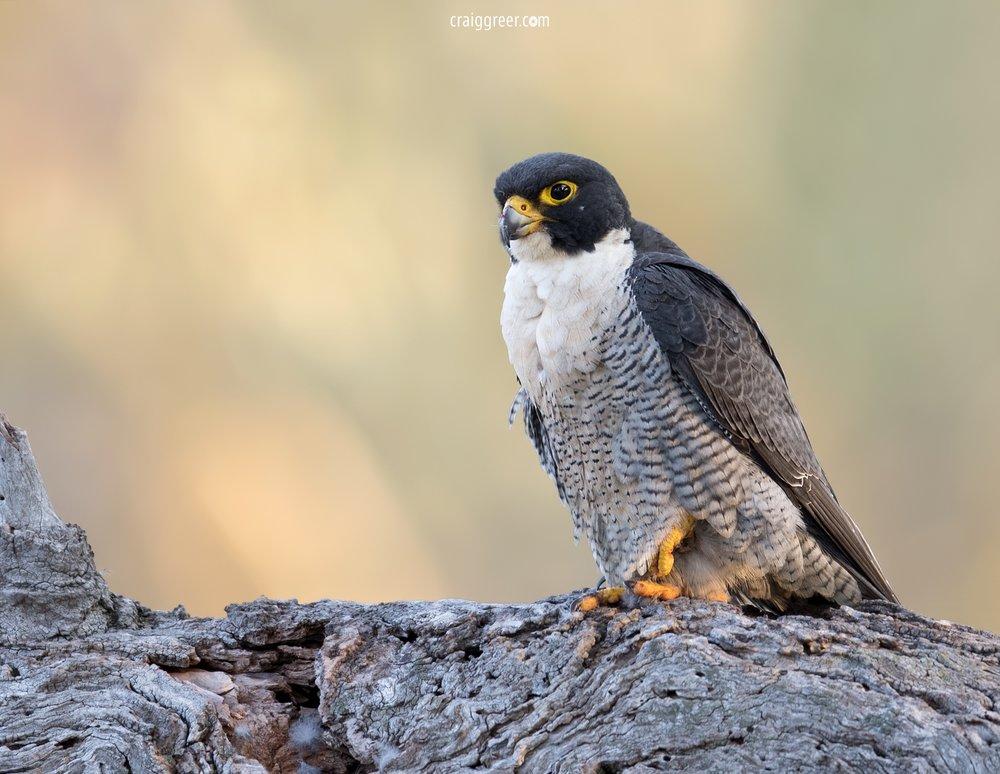 Peregrine-Falcon-Barossa-Valley-2-10-09-18.jpg