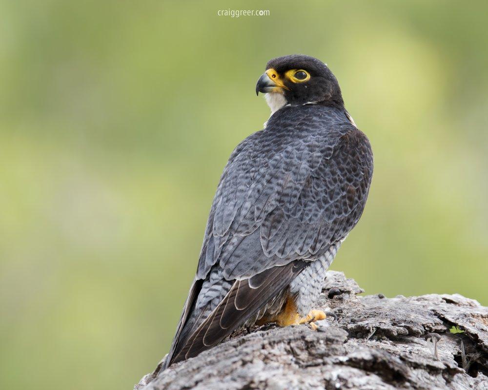 Peregrine-Falcon-Barossa-Valley-26-11-18.jpg